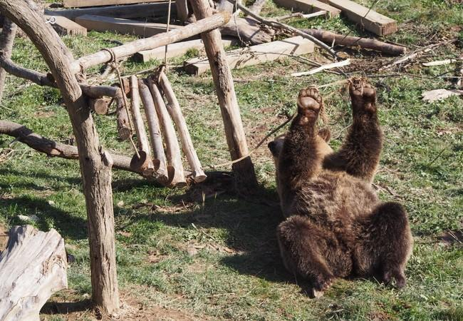 Brown bear playing at sanctuary