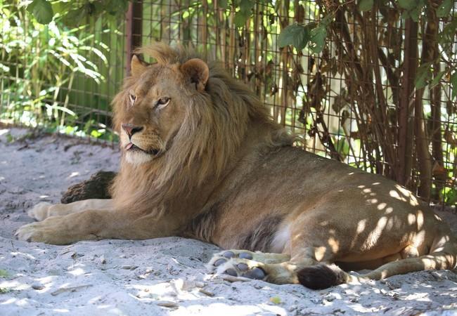 Leeuw Ivan-Asen aan het relaxen