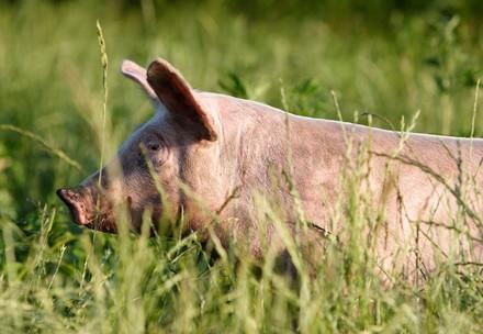 Schwein im Grünen