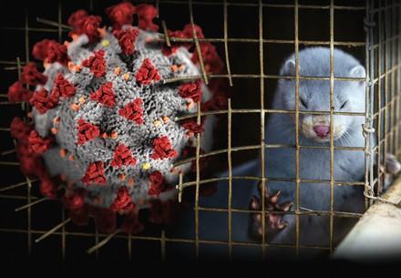 Nerz in einem Käfig der von übergroßem Coronavirus durchbrochen wird.