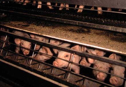Schweine in Massentierhaltung, eingepfercht und schmutzig
