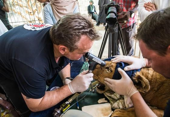Lioness receiving eye examination