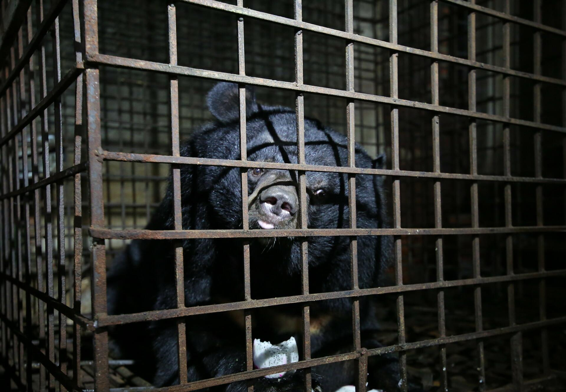 Bile bear Xuan caged in a bile bear farm