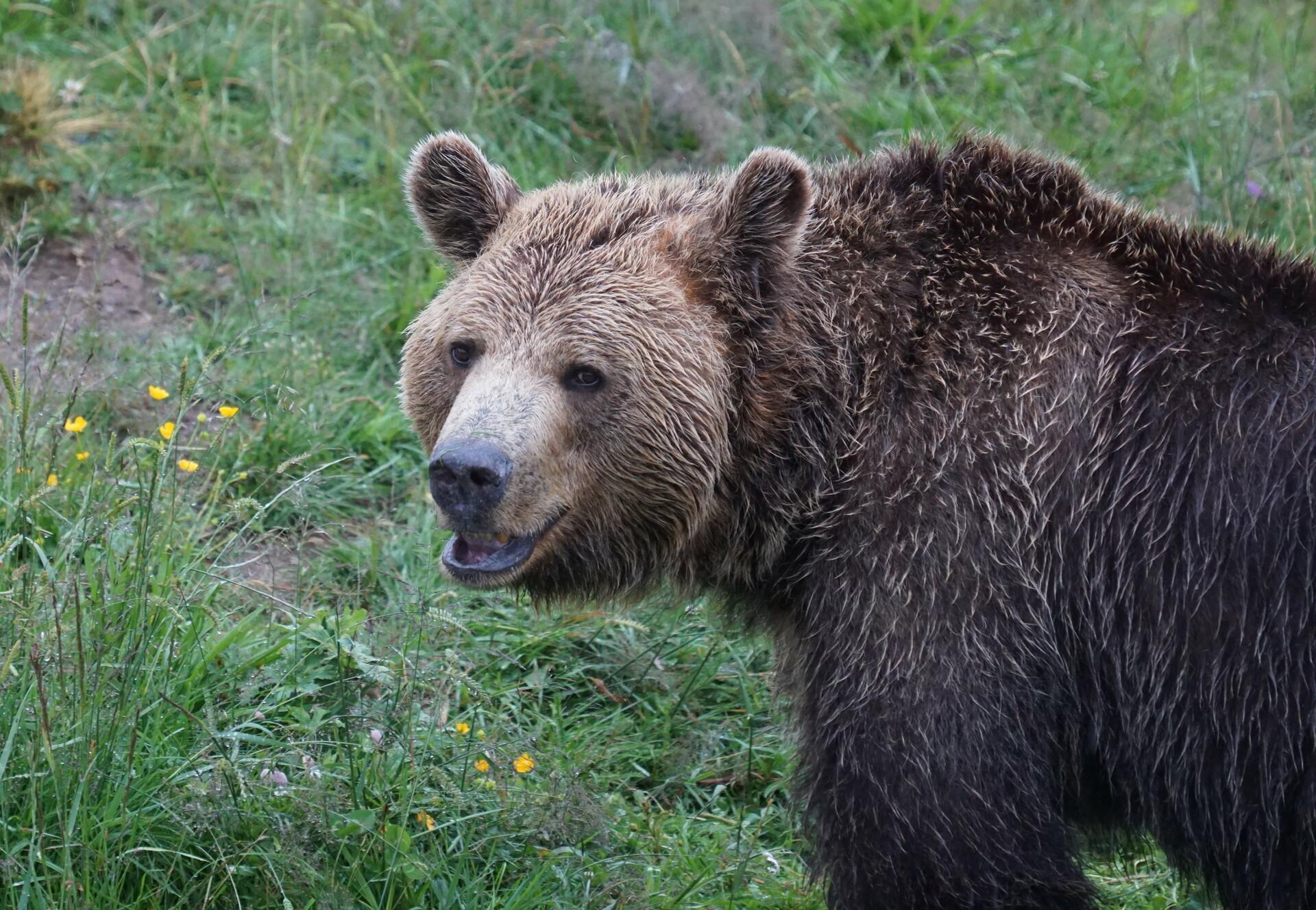 Bear Meimo