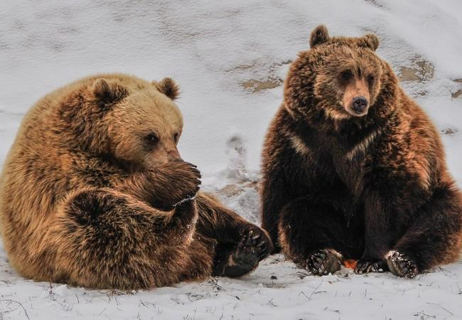 Two rescued brown bears in snow at sanctuary