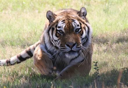 Tiger Raspoetin
