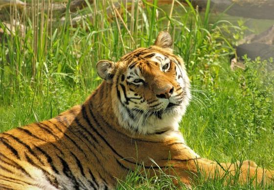 Tigerdame Varvara