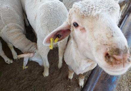 österreichisches Schaf auf Transporter nach Jordanien