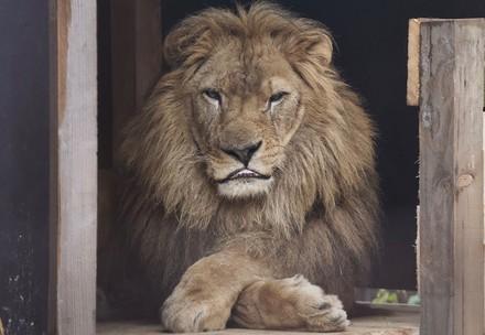 Lion Lenci in FELIDA