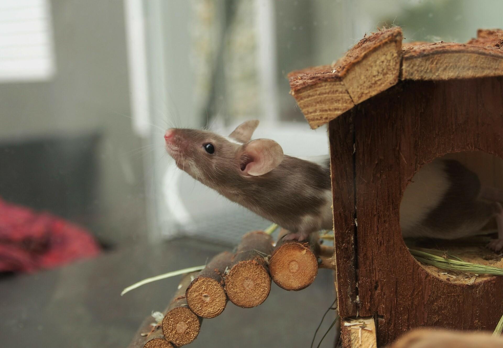Maus schaut aus kleinem Holzhaus