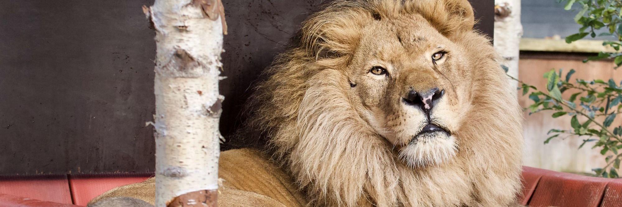 Leeuw Bobby in FELIDA
