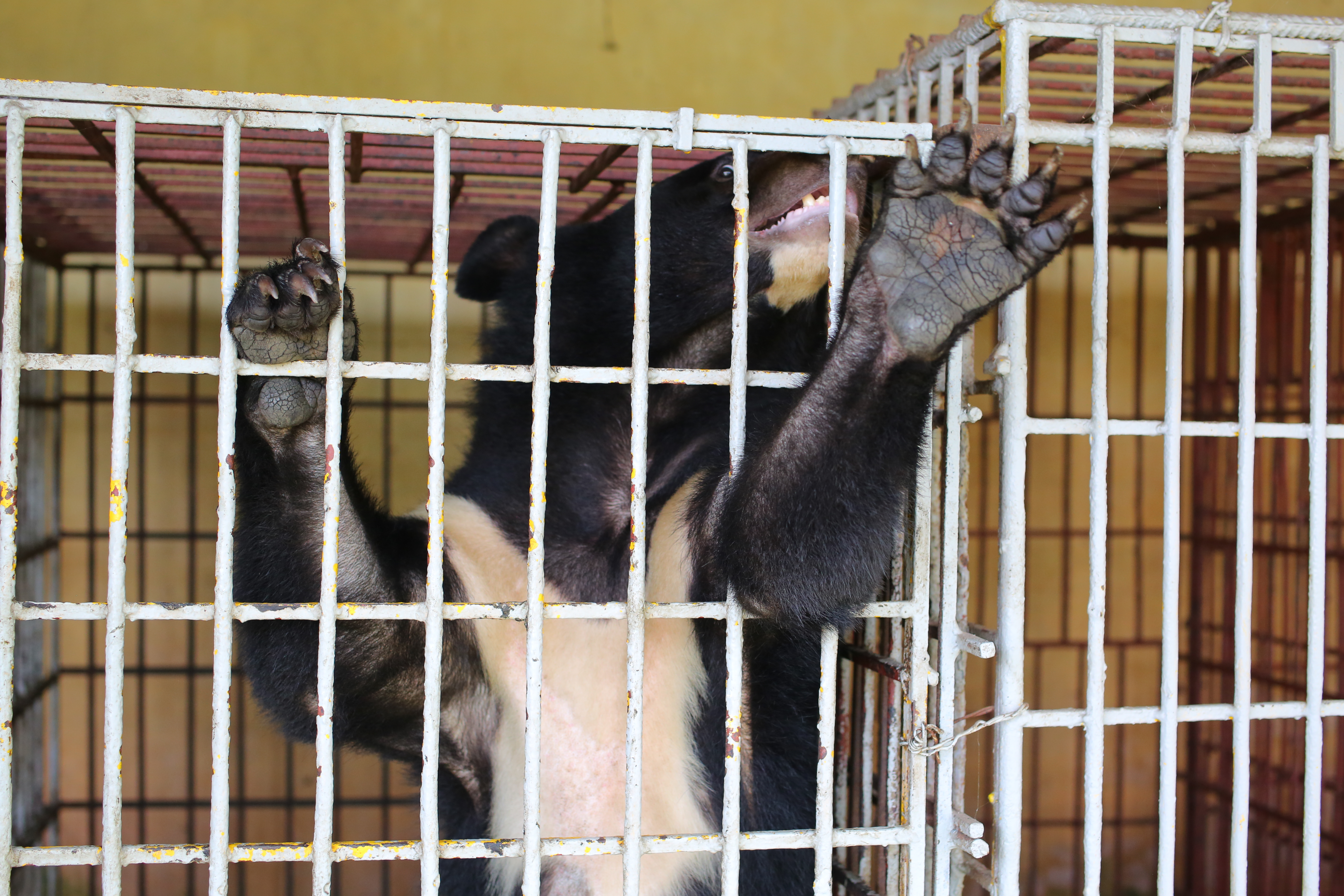bile bear Cam in a cage