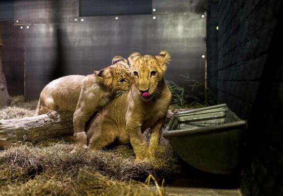 Lions Terez and Masoud at FELIDA