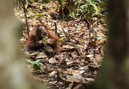 Orangutan orphan eating forest food