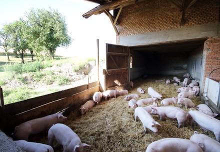 Schweine im offenen Stall mit viel Stroh