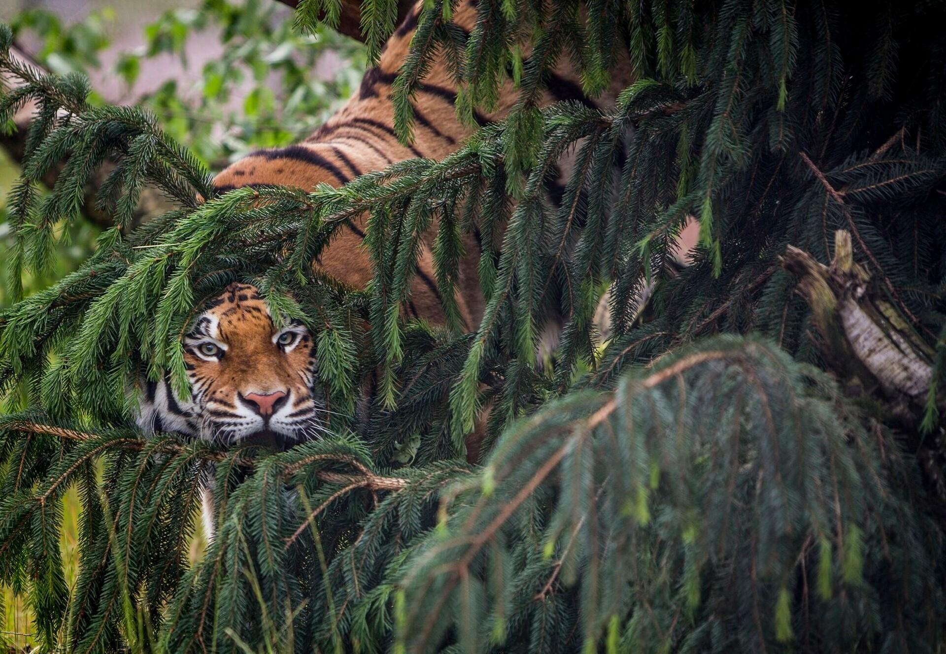Tigeress Cara