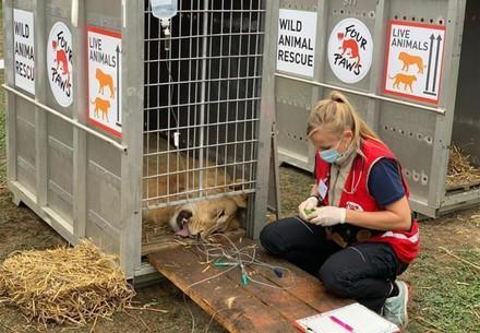Seven lions rescued from dangerous breeding and keeping conditions in Romania