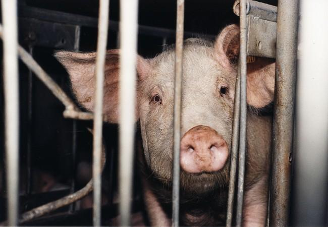 Ein Schwein das leidet