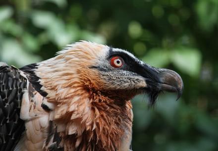 Bartgeier in der Eulen- und Greifvogelstation (EGS) Haringsee