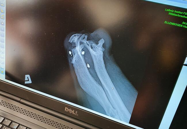 Röntgenbilder von Dushi