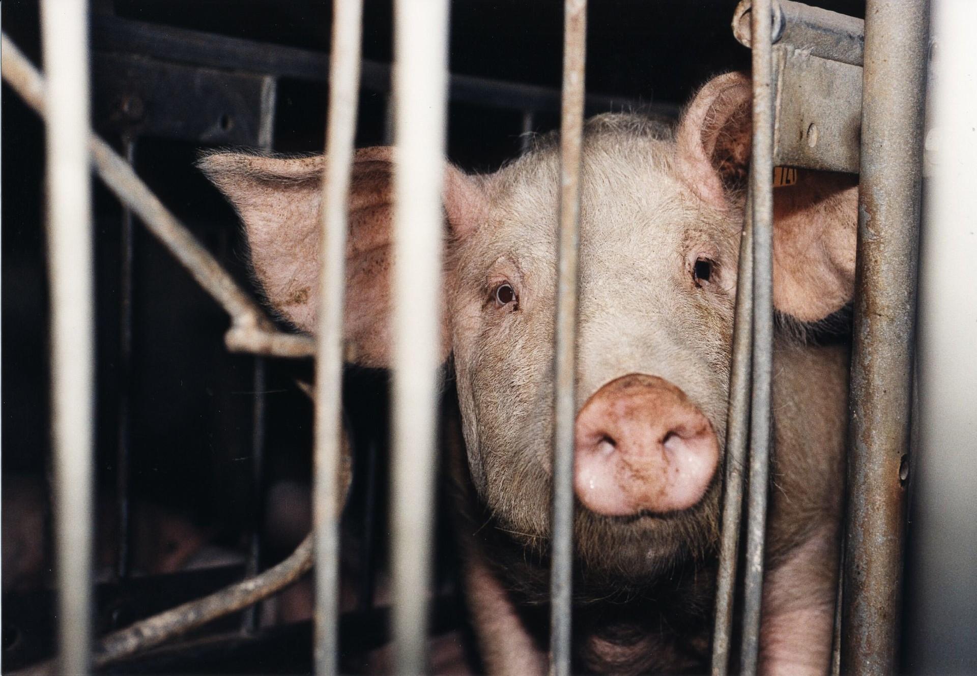 Schwein in einem Stall
