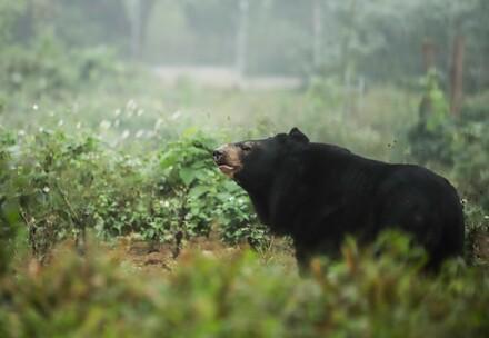 Les ours au Vietnam