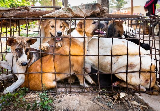 Hunde werden in enge Käfige gepfercht