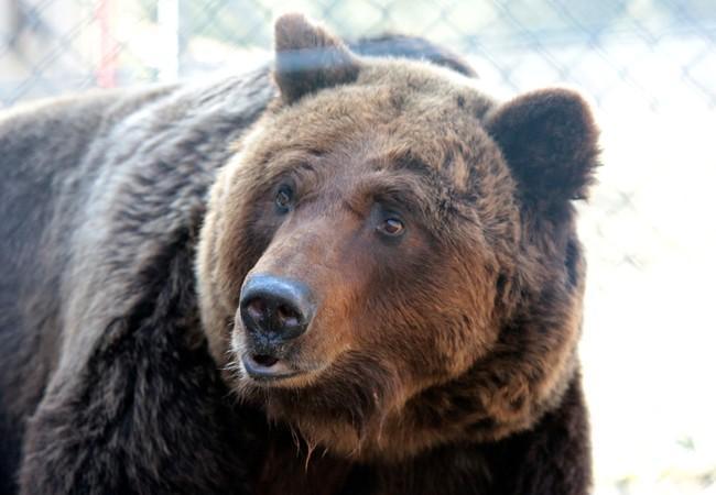 Bear Laska at BEAR SANCTUARY Domazhyr