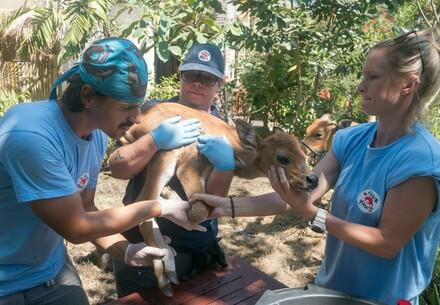 Disaster relief in Lombok, vets saving a cattle