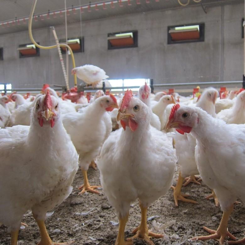 Farm mit Masthühnern