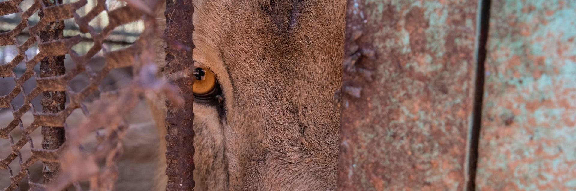 Hungernde Löwen im Sudan