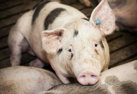 Schwein in Massentierhaltung