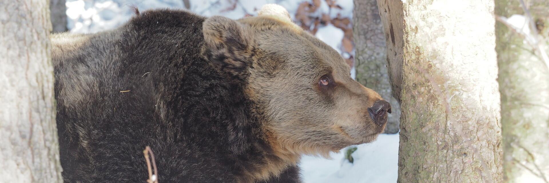 Bär Brumca im Schnee