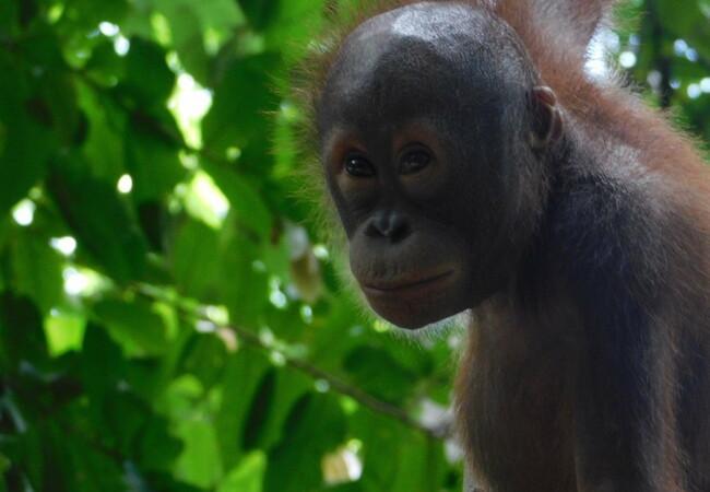 Orangutan Lestari exploring the trees