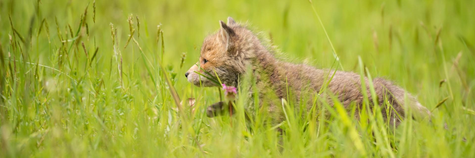 Fuchsjunges in TIERART
