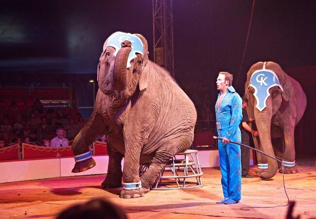 Zwei Elefangen müssen in einer Tiershow Kunststücke zeigen