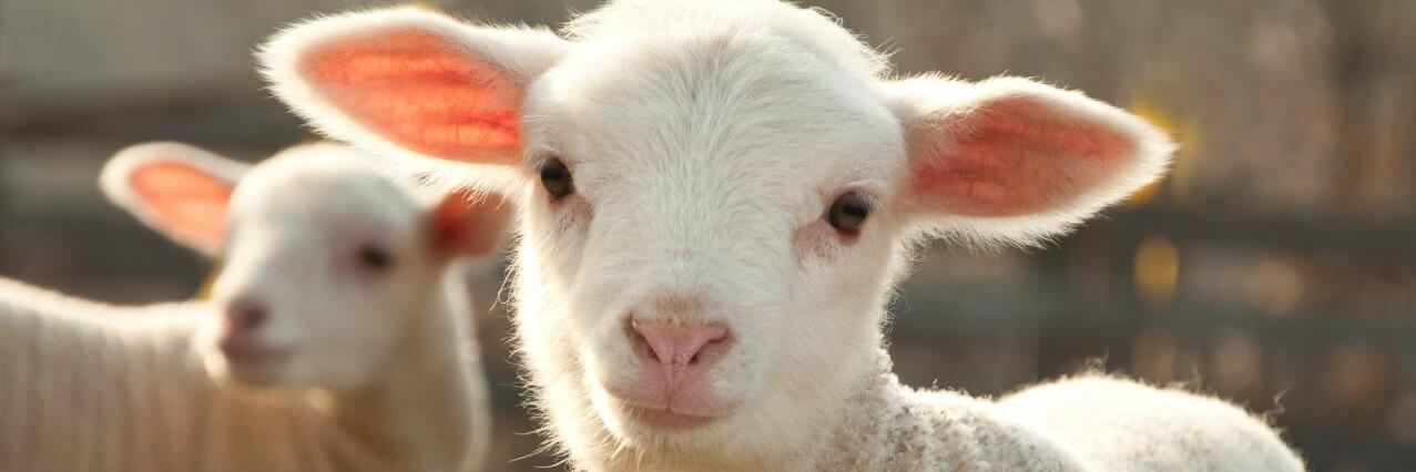 Two lambs