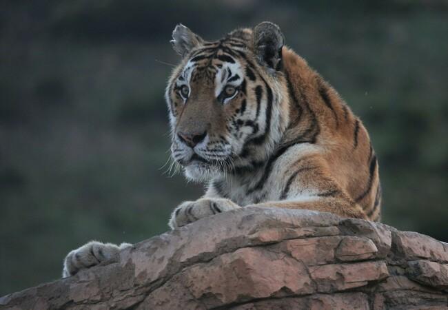 Geretteter Tiger auf Fels