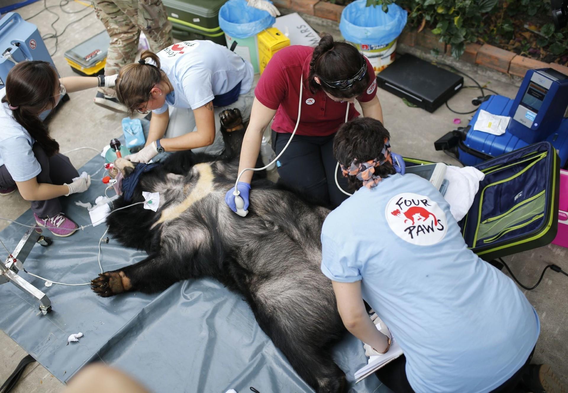 Geretteter Bär wird vor dem Transport untersucht