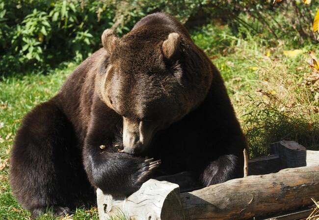 Bear Erich is cracking walnuts