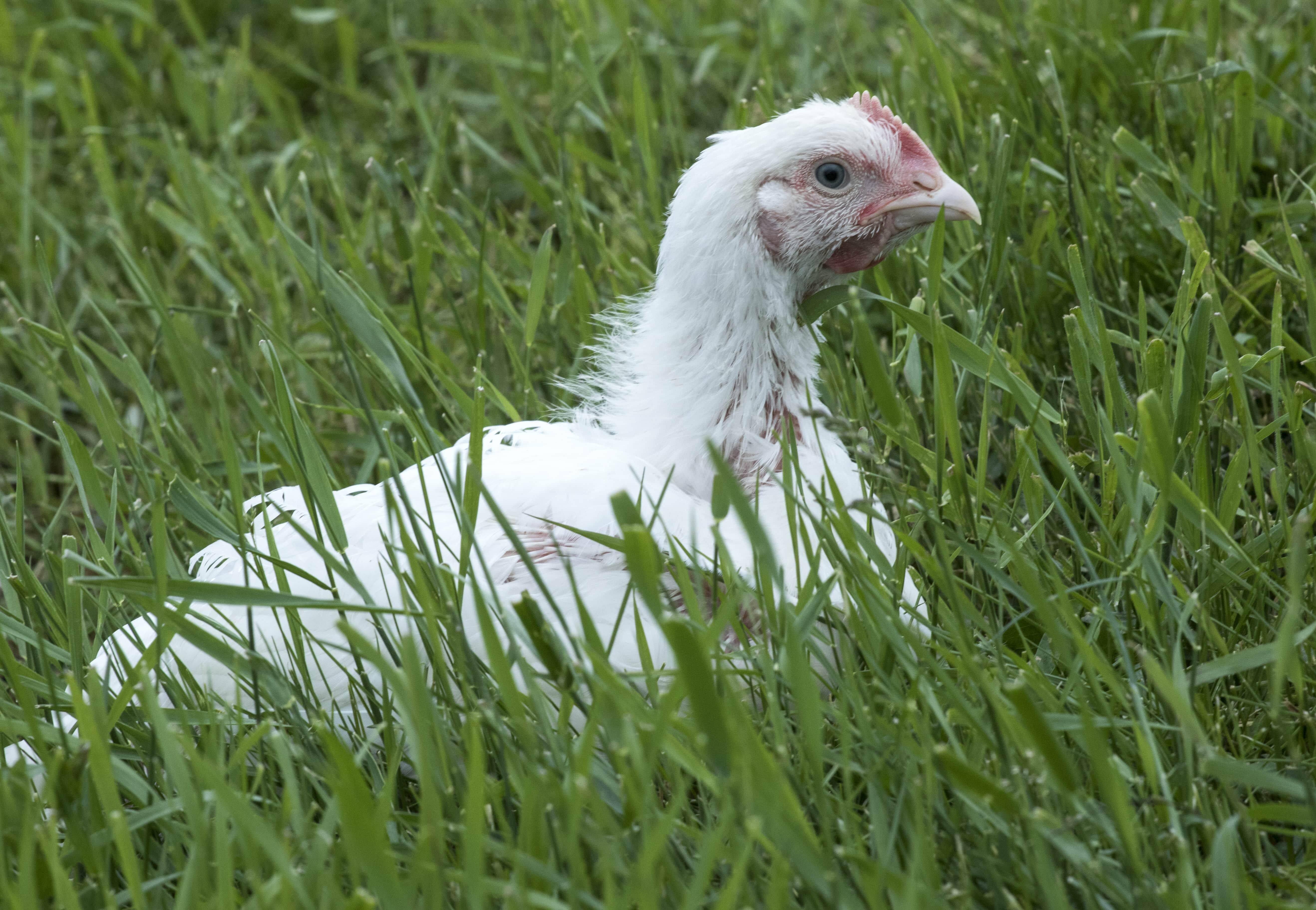 Chicken on grass
