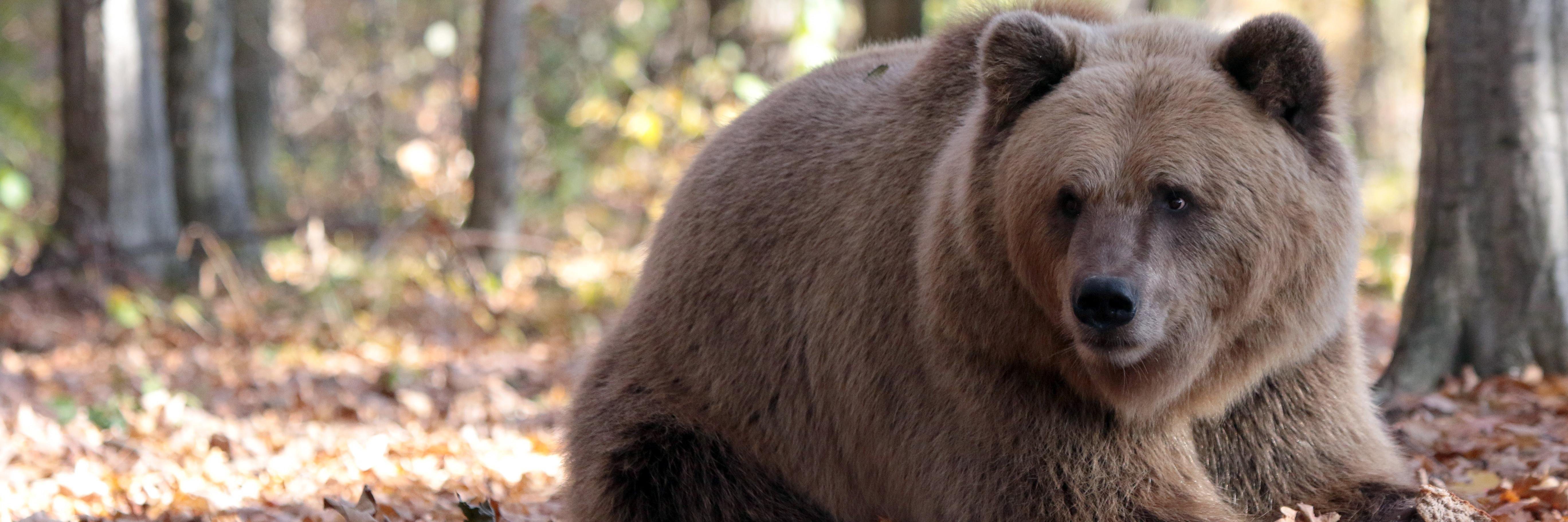 Bear in BEAR SANCTUARY Domazhyr