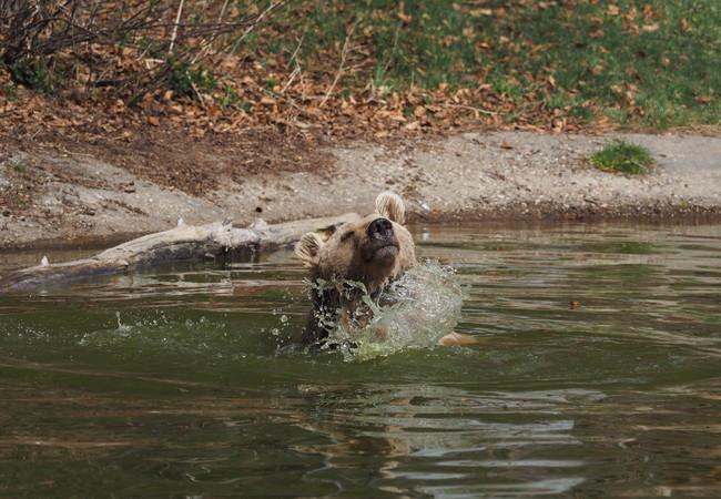 Bär Jerry plantscht gerne im Wasser