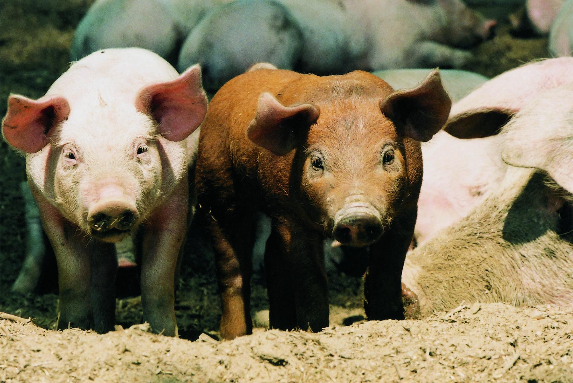 Cochons dans un élevage en liberté