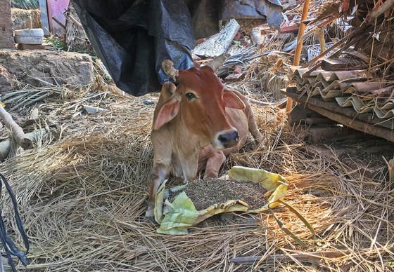 Cow receiving food after Cyclone Fani