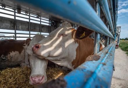 Rinder auf einem Transporter