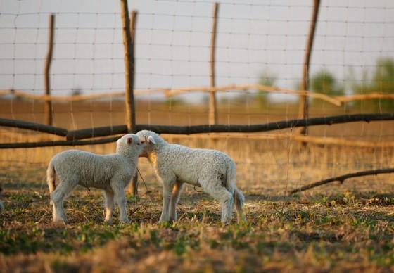 Deux des agneaux nouveaux-nés