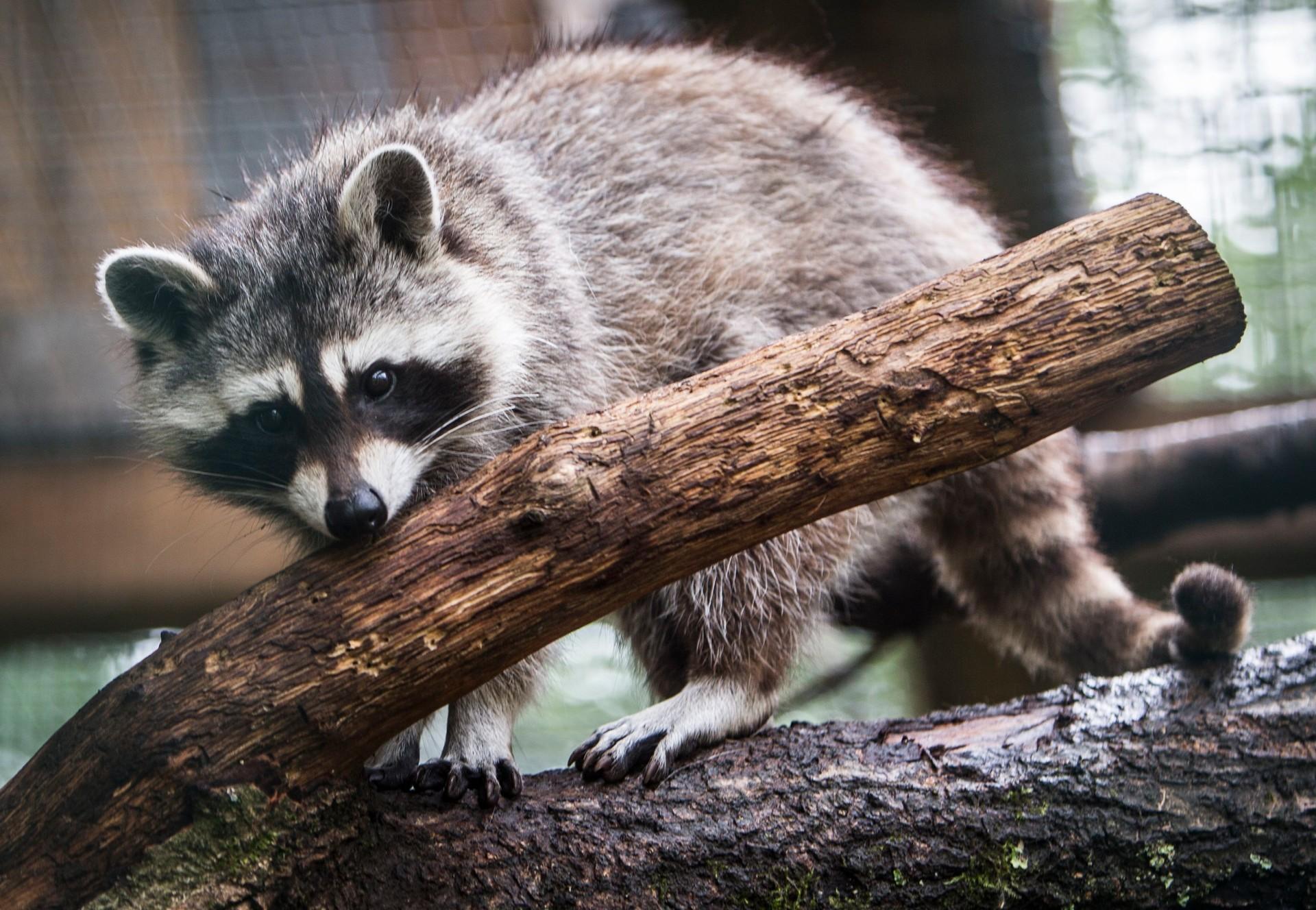 Raccoon at TIRART
