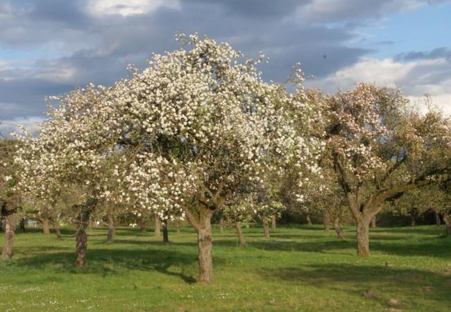 blühende Apfelbaumwiese