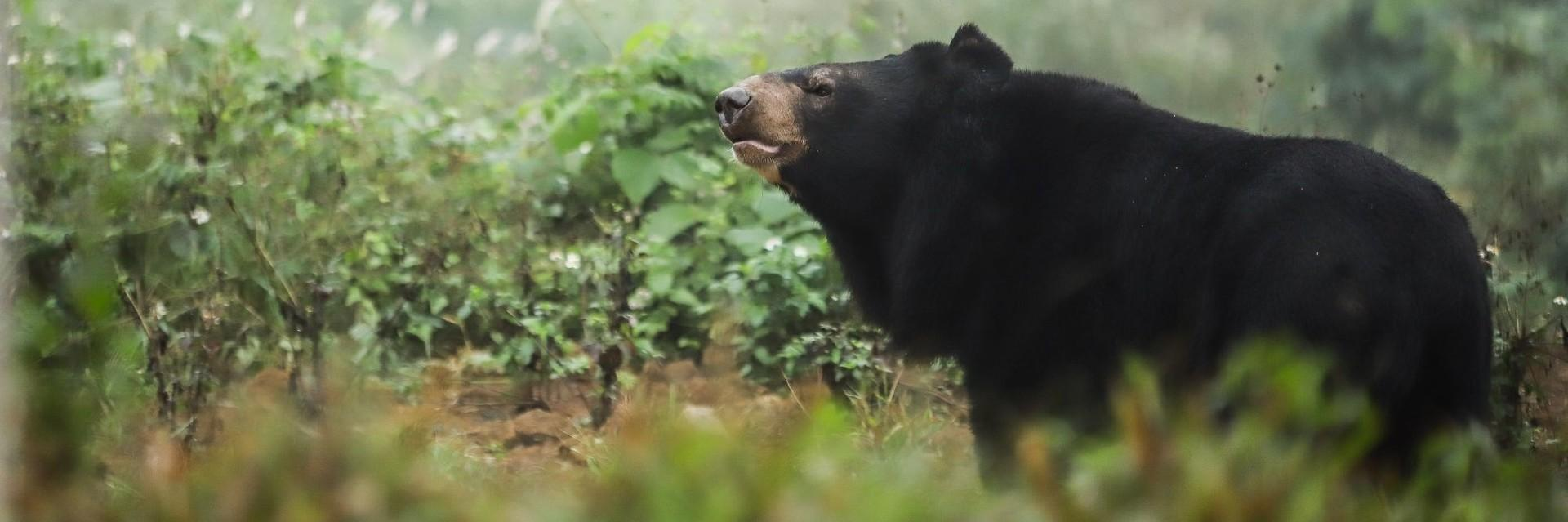Asiatic Black Bears in Ninh Binh